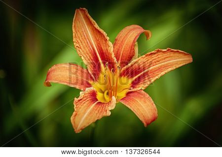Lily Flower over the Dark Green Background