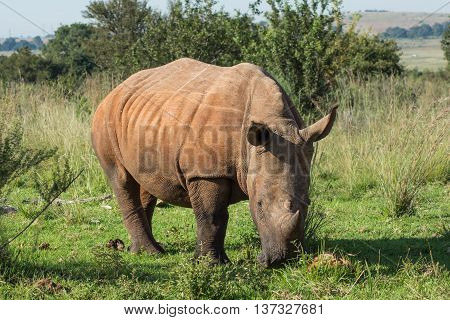 Rhinoceros grazing in grassland in a reserve in Africa