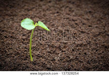 Seedling of velvet aple in fertile soil