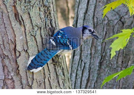 A Blue Jay perched on a tree. Taken in Kentucky.