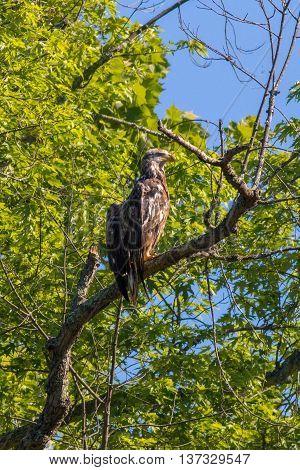 A Bald Eagle sunbathing. Taken in Kentucky.
