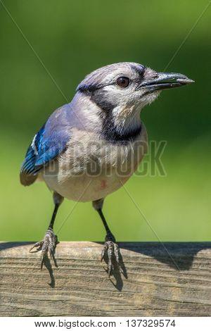 A Blue Jay eating sunflower seeds. Taken in Kentucky.