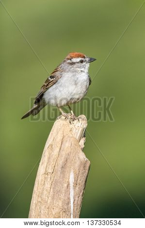A Chipping Sparrow perched. Taken in Kentucky.