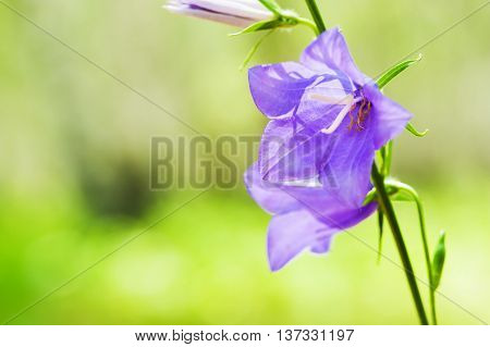 Beautiful Bluebell Flowers In Summer Forest