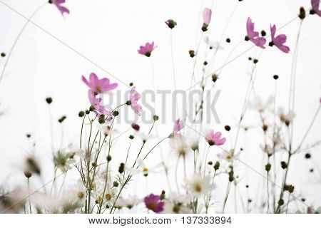 Pink cosmos flowers in garden close up. Pink cosmos flowers in garden close up.