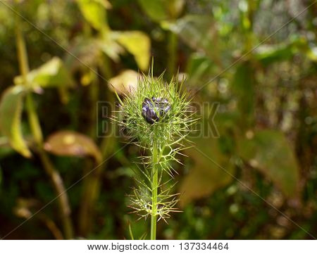 Blue nigella - love in a mist - flower bud contained inside frondy foliage