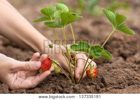 hand picking of strawberries in the garden closeup