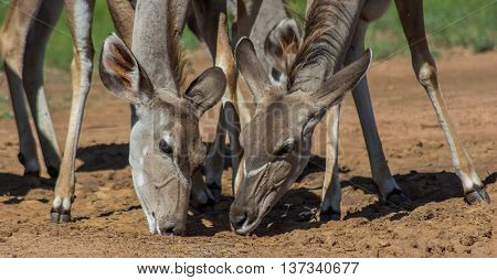 Close up photo of two kudu females