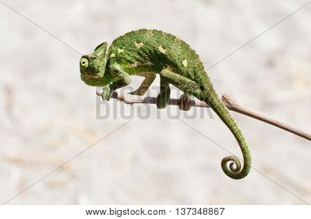 Greenish Chameleon perched on branch. Close up