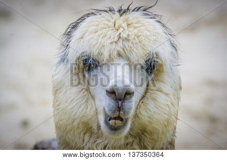 A young white shag alpaca funny portrait.
