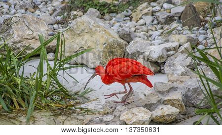 A beautiful red hued ibis seek the food.