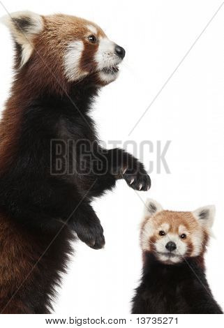Old Red pandas or Shining cats, Ailurus fulgens, 10 years old, in front of white background