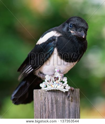 Magpie thief stealing a shine jewellery on wooden fence