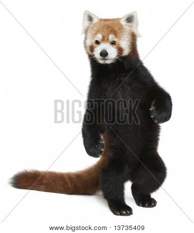Old Red panda or Shining cat, Ailurus fulgens, 10 years old, walking in front of white background