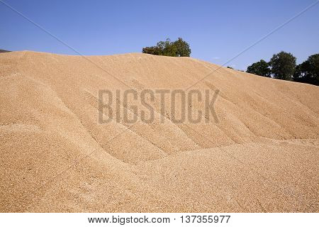 stacked in a large pile of wheat. harvest. summer