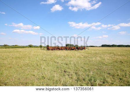 Thoroughbred Gidran Horses Eating Fresh Greengrass On The Puszta Isummertime