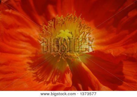 Macro Of Iceland Poppy