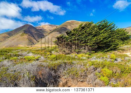 Cypress Trees Bent By Winds Near Garrapata State Park, California, Usa