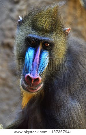 Wild male mandrill baboon closeup with exotic blue and pink nose