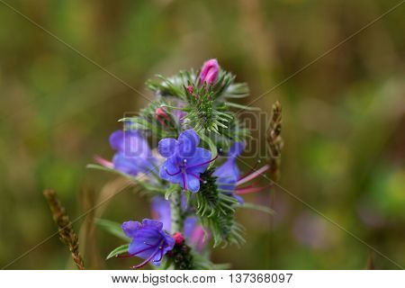 Flowers of a blueweed or viper bugloss (Echium vulgare)