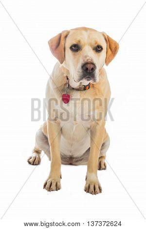 Yellow dog sitting isolated on white background