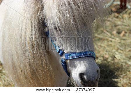 Small white pony farm face long hair