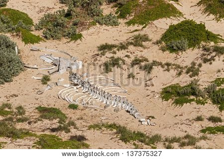 Huge white whale skeleton bones on sand at Seal Bay, Sea lion colony on south coast of Kangaroo Island, South Australia