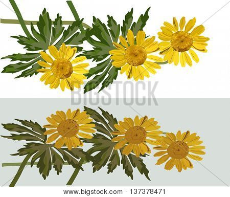 illustration with group of coltsfoot flowers on light background