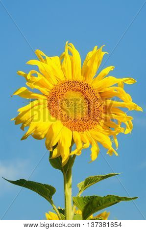 Yellow sunflowers and bright blue sunny sky