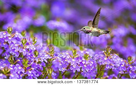 Hummingbird (archilochus colubris) in flight with tropical flowers on purple background