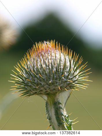 Scotch thistle (Onopordum acanthium), flower bud beginning to blossom, shallow depth of field