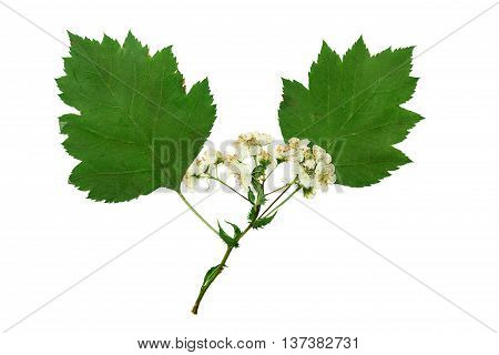 Pressed and dried delicate flower viburnum and two green sheet. Isolated on white background. For use in scrapbooking floristry (oshibana) or herbarium.
