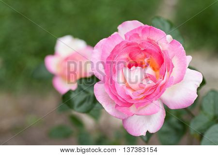 Bright pink rose blossoms in the garden