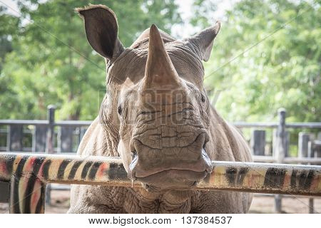 Close up face of white rhino in the zoo