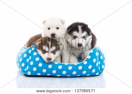Cute siberian husky puppies lying in pet bed on white background isolated
