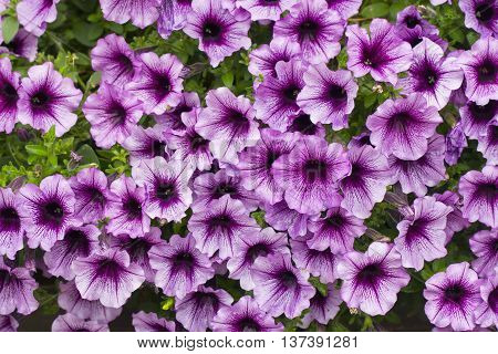 A background of multiple pink petunia flowers