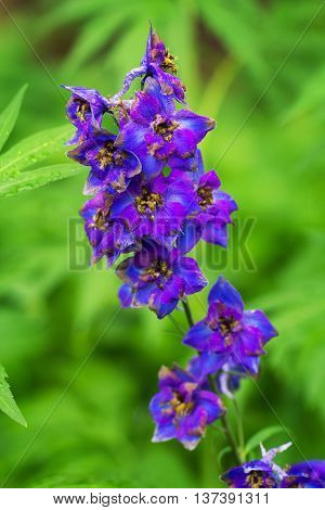 Violet delphinium growing outdoors over green blurry background