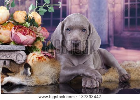Portrait of a weimaraner puppy 2 months