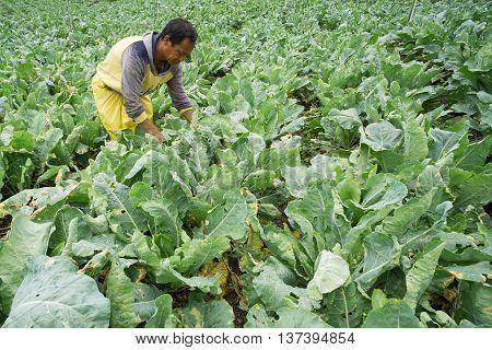 Kundasang Sabah Malaysia - May 26 2016 : Unidentified farmer working on his vegetable plot at Kundasang Sabah. Kundasang is a vegetable main producer in Sabah Malaysian Borneo.