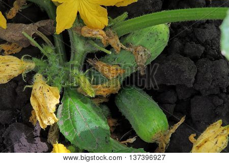 Cucumbers In The Garden