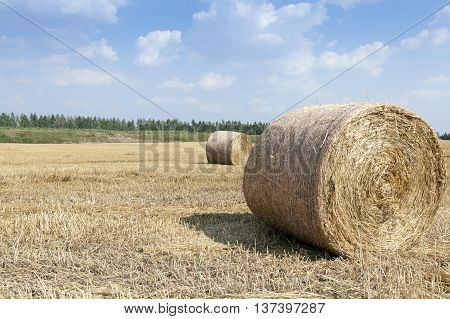 Agricultural field on which is carried out harvesting cereals, wheat. stack of straw