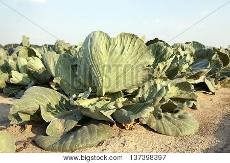 Agricultural field on which grow green cabbage. there are defects in the cabbage from insects, etc.