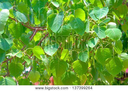 Pho leaves background.Bodhi Tree Ficus religiosa L.