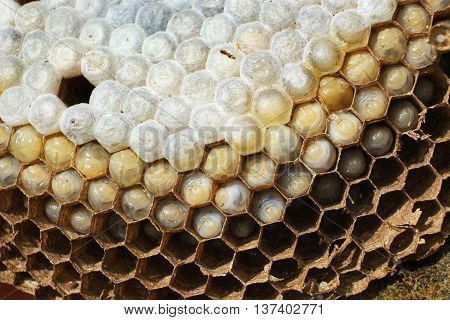 Inside a wasp nest showing hexagonal chambers and larvae.