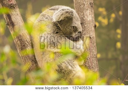 Fluffy Australian koala outdoors sleeping. Queensland, Australia