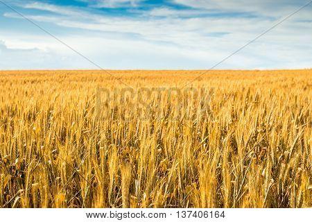 Yellow wheat field in Barossa South Australia
