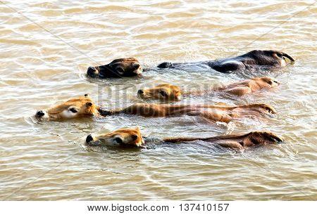 herds, cross the river, Dakla, Kon Tum, Central Highlands, Vietnam