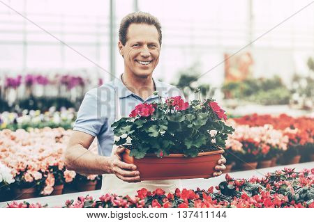 Gardener at work. Handsome mature man holding a potted plant and smiling at camera while standing in green house