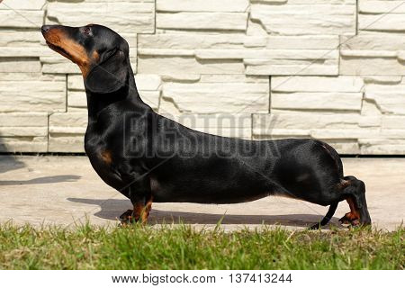 pedigreed dog Dachshund the show position summer on lawn in Park