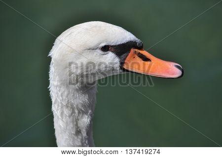 Swan Bird Animal